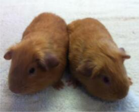 Two Baby Male shorthaired Guinea Pigs