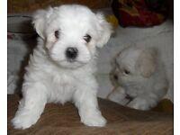Stunning KC reg, Maltese Puppies, Ready Now