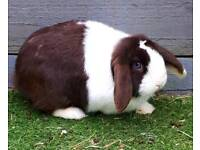 Pure bred mini lops and lionlops