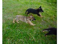 German Sherpherd puppies