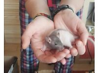 Lovely Double Rex baby rats for sale