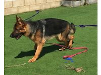 Stunning male GSD for sale KC Registered.