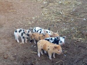 Piglets for sale Tailem Bend The Coorong Area Preview