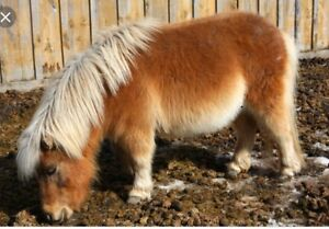 Looking for miniature horse