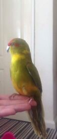 Parakeet for sale young bird email for more info