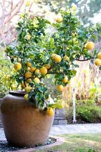 Wanted lemon tree in pot Rivervale Belmont Area Preview