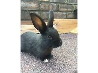 Small black mini lops