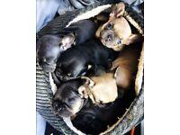 French Bulldog Puppies - Blue & Tan, Lilac, Sable and Black & Tan
