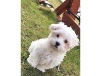 Puppy Maltese