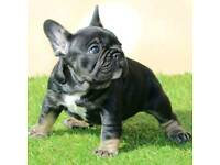 French bulldogs for sale dad and mum in photos