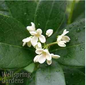 Tea Olive Osmanthus fragrans Live Plant unique tree fragrant