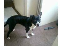 Pet dog bailey