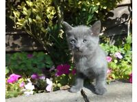1 grey girl and 1 grey tabby boy (All Reserved)