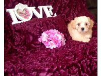 READY....... Beautiful adorable small Apricot Maltese x Cavashon pups