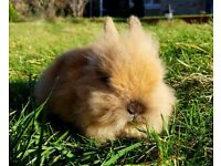 Lionhead rabbit (baby, female)