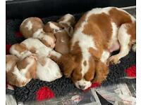 Cavalier King Charles Puppies CC/DE And EF Clear
