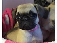 Stunning frug puppies all girls