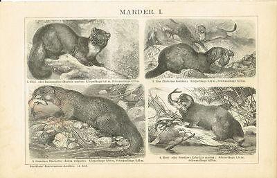 Tafel MARDER / ILTIS / FISCHOTTER / SEEOTTER 1894 Original-Holzstich