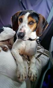 "Young Male Dog - Coonhound: ""Prince"""