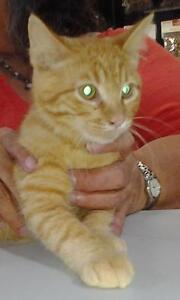 "Baby Male Cat - Domestic Short Hair-orange: ""Maurice-Baby"""