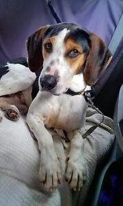 """Young Male Dog - Coonhound: """"Prince"""""""