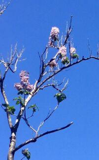 Plaulownia Tree for sale