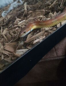 Extremely friendly cornsnake+40g tank+hides+food