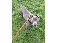 11 month old blue boy staffie for sale
