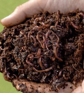 Red worms for worm composter