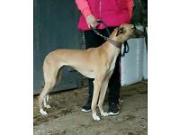 Beautiful whippet crossbred