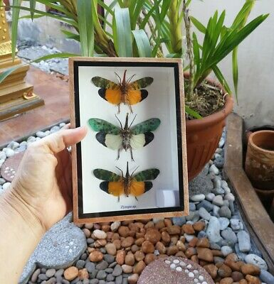 3 Real Pyrops Sp Lanternfly Beetles Fly Insects Wood Box Set Display Taxidermy for sale  Shipping to Canada