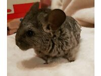 2 adorable baby chinchillas