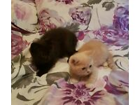 Pedigree British shorthaired x Ragdoll kittens.