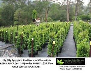 LILLY PILLY SYZYGIUM Varieties - Absolute Quality - Hedging Privacy Mudgeeraba Gold Coast South Preview