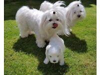 Quality Maltese Puppy Boy! Parents Kc Registered