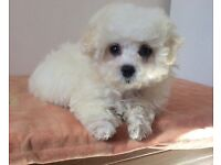 Maltese X toy Poodle boy (Maltipoo) for sale
