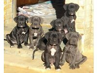 Cane Corsa Pedigree Puppies | Blue & Grey!