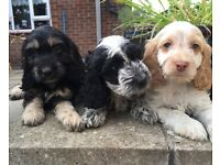Beautiful cockerpoo puppies, only three left!