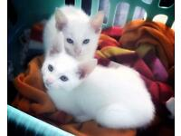Stunning White Russian X kittens