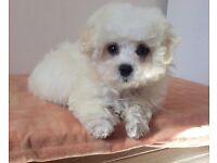 Maltese X Poodle (Maltipoo) boy puppy