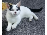 Female Ragdoll cross domestic kitten