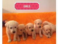 beautiful litter of 11 labrador puppies white or golden
