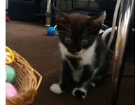 3 x Kittens for sale £20 each all males and 10 weeks old