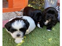 Gorgeous Shih Poo puppies for sale