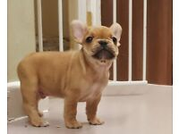loving french bulldog