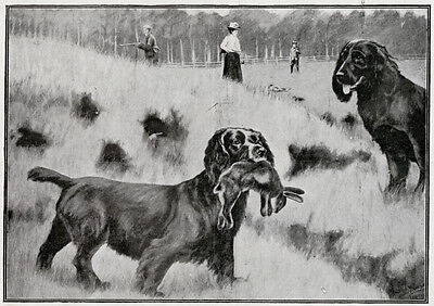 SUSSEX SPANIEL FLATCOATED RETRIEVER GUN DOG ANTIQUE ART PRINT - Shooting 1900
