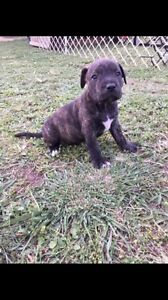 English Staffy pups for sale Aratula Ipswich South Preview