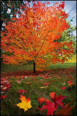 Sugar Maple Shade Tree 18-24