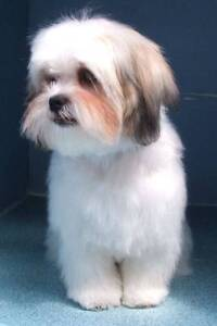Wanted matlese or maltese x Bundall Gold Coast City Preview