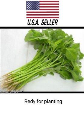 200O+ organic Green Spinach Amaranth Seeds Asian Vegetable Seed NON-GMO - Organic Vegetable Seed